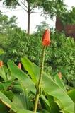 Orange bananblomma (musaceaen) royaltyfri fotografi