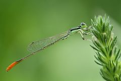 Orange band grüne Libellen-/Damselfly-/Zygoptera-Stangen auf Grünpflanze an Stockbild