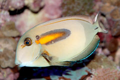 Orange band Surgeonfish (Acanthurus olivaceus) marine fish Royalty Free Stock Photography