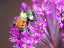 Orange-banded Bumblebee on Allium Royalty Free Stock Photos