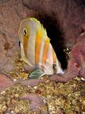 Orange-banded Coralfish Royalty Free Stock Photography