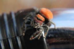 Orange banhoppningspindel Arkivbilder