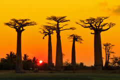 Orange baobabs Stock Photos