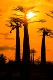 Orange Baobabs Stock Image