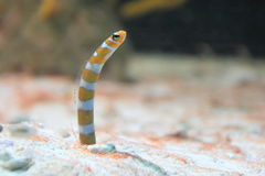 Orange-barred garden eel Royalty Free Stock Photos