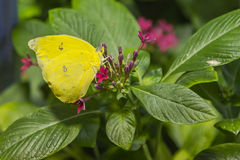 Orange Barred Sulfur Butterfly. Bright yellow wings each with a pair of black rimmed white spots and gray antennae, these belong to the Orange Barred Sulfur stock photography