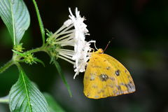 Orange-barred Sulfur butterfly Stock Photography