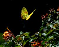 Orange Barred Sulphur Butterfly in Midair. Close up of the wing of an orange barred sulphur butterfly in flight over red and yellow trumpet flowers in a Florida royalty free stock photos