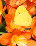 Orange-barred Sulphur Stock Images