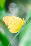 Orange-barred Sulphur Stock Photo