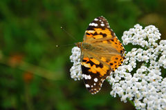 Orange Basisrecheneinheit auf einer weißen Blume Stockfotos