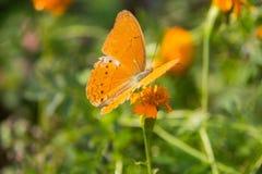 Orange batterfly avec le fond vert Image libre de droits