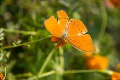 Orange batterfly with flora. Soft focus orange batterfly color sit on flower. Colorful orange batterfly with green leaf Stock Image
