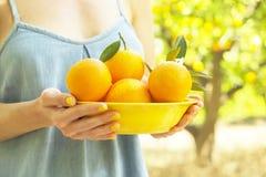 Orange Baumfarmgarten des lokalen Erzeugnisses voll des Sonnenlichts Ernten, Fruchthandsammeln, weiblicher Landwirt mit Erntestap stockfotografie