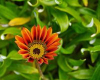 Orange beach daisy Stock Photography