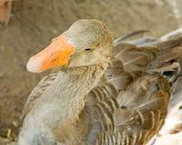 Orange beak. The big goose with an orange beak Stock Photos