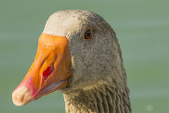 Orange beak brown duck Stock Image