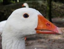 Orange Beaked Goose Head Stock Photo