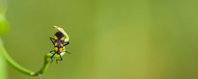 Orange and black beetle. Small orange and black beetle on end of plant stem with green background and copy space Stock Images