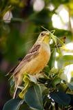 Orange beautiful bird eat green grasshopper on tree Royalty Free Stock Images