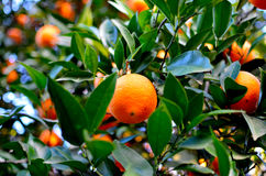 Orange. Beautiful and ripe oranges on the tree Stock Photography