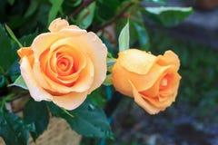 Orange beautiful rose growing in the garden Stock Photo