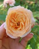 Orange beautiful rose with hand human. Flower background beauty blossom green love nature petal plant red summer garden bloom color day flora floral fresh macro royalty free stock image