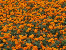 Orange beauty. Orange flowers in the flowerbed in the city of Pyatigorsk Royalty Free Stock Images