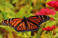 Orange beauty. A Monarch butterfly posing in a sunny day Royalty Free Stock Photography