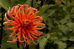 Orange Bed Head Daliha stock image