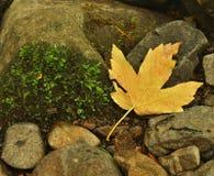 Orange beech leaves on mossy stone below increased water level. Stock Image