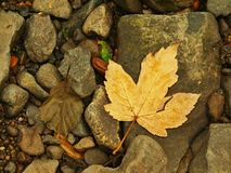 Orange Beech Leaves On Mossy Stone Below Increased Water Level. Royalty Free Stock Photography