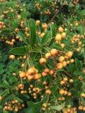 Orange Beeren Stockfotos