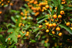 Orange Beeren Lizenzfreies Stockfoto