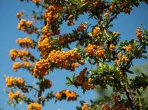 Orange Beeren Lizenzfreie Stockfotografie