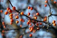 Orange Beeren auf blattlosen Zweigen Stockfotos