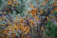 Orange Beeren auf den Niederlassungen Lizenzfreies Stockfoto