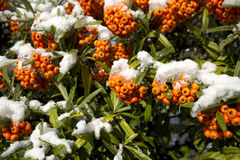 Orange Beeren beim Winter-Schmelzen Lizenzfreie Stockfotos