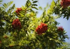 orange Beeren der Eberesche grünen Sonnenlicht des blauen Himmels Blatt bokeh Hintergrundes Lizenzfreie Stockbilder