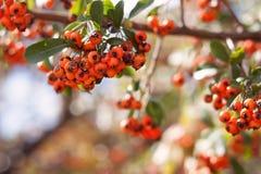 Orange Beeren mit grünen Blättern Stockfoto