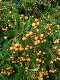 Orange Beeren mit grünen Blättern lizenzfreies stockbild