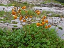 Orange Beeren mit Wasser lizenzfreie stockfotografie