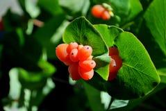 Orange Beeren von Geißblatt capricole vor dem hintergrund der grünen Blätter stockfoto