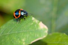 Orange beetle. Macro shot of an Orange beetle on a leaf Stock Image