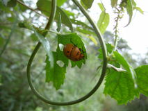 Orange beetle with black marks on leaf in Swaziland Stock Photo