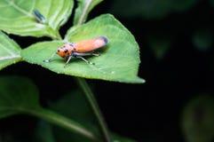 Orange beetle Royalty Free Stock Photos