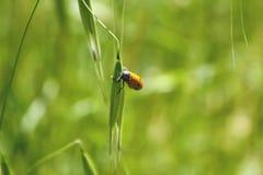 Orange Beetle Stock Photography