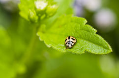 Orange beetle on green leaf Royalty Free Stock Image
