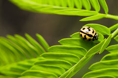 Orange beetle on green leaf Royalty Free Stock Photos