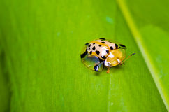 Orange beetle on green leaf Stock Photos
